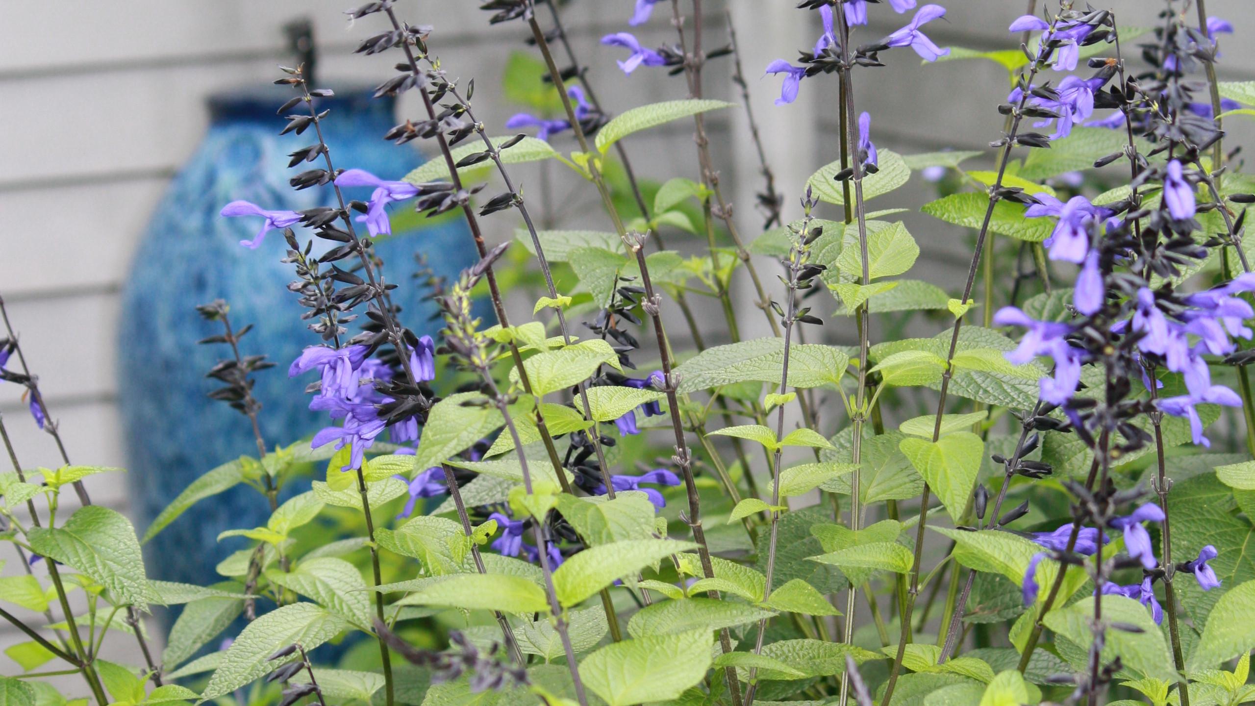 Salvia - 'Black and Blue'
