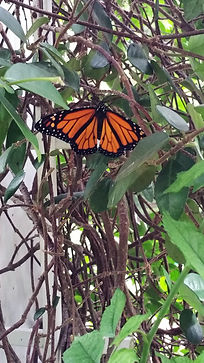Monarch Butterfly resting on a vine.