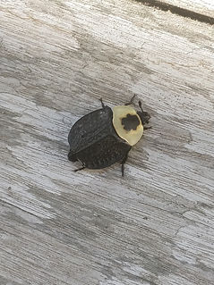 A carrion beetle on a wood plank.