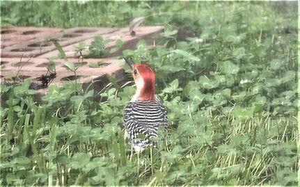 Red Bellied Woodpecker 23 April 2019 (2)