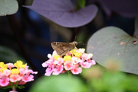 A clouded skipper butterfly sipping nectar from a ham and eggs lantana flower.