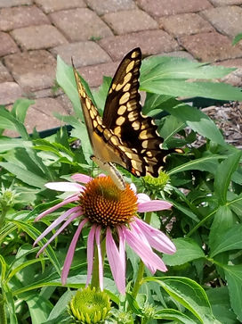 Giant Swallowtail Butterfly sipping nectar from a purple coneflower.
