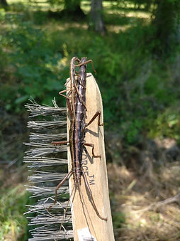 A pair of southern two-striped walkingsticks mating on the handle of a wire brush.