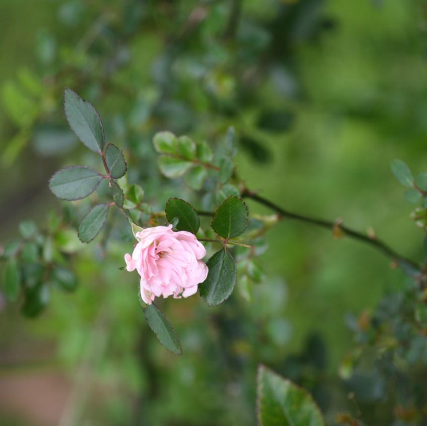 Rose - 'The Fairy'