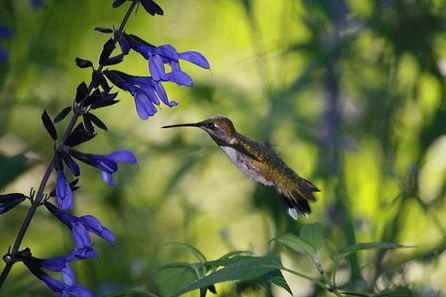 Ruby-Throated Hummingbird (female) flyin