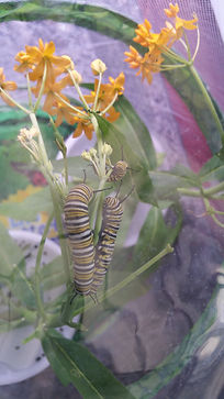 Three monarch caterpillars on milkweed flowers.