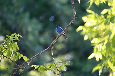 An indigo bunting sitting on a pecan tree branch.