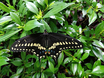 Eastern Black Swallowtail 29 July 2020.j