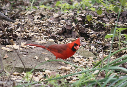 A male cardinal searching through leaves, standing on a stone on the ground.