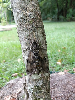 Carolina sphinx moth on a tree, blending into the gray bark.
