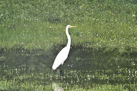 Great Heron standing in grass which is c