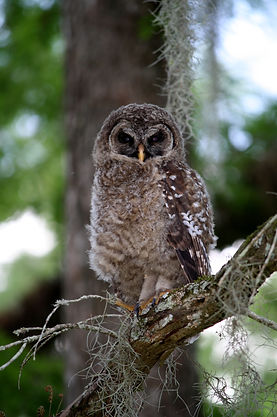 A juvenile barred owl sitting on a cypress branch.