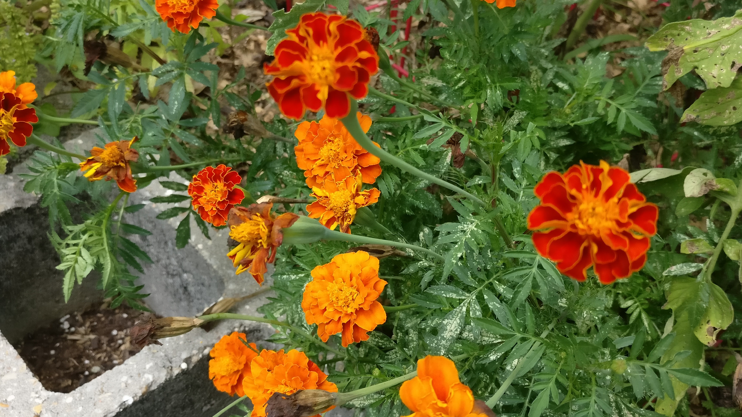 Marigold 'Climax'