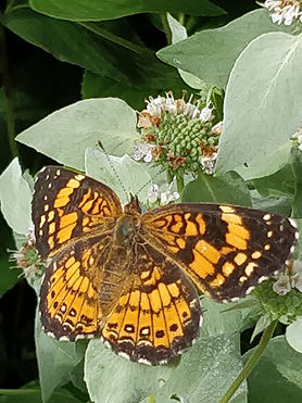 A silvery checkerspot butterfly drinking nectar from a big leaf mountain mint flower.