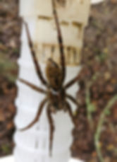 Wolf Spider 20 June 2018.jpg