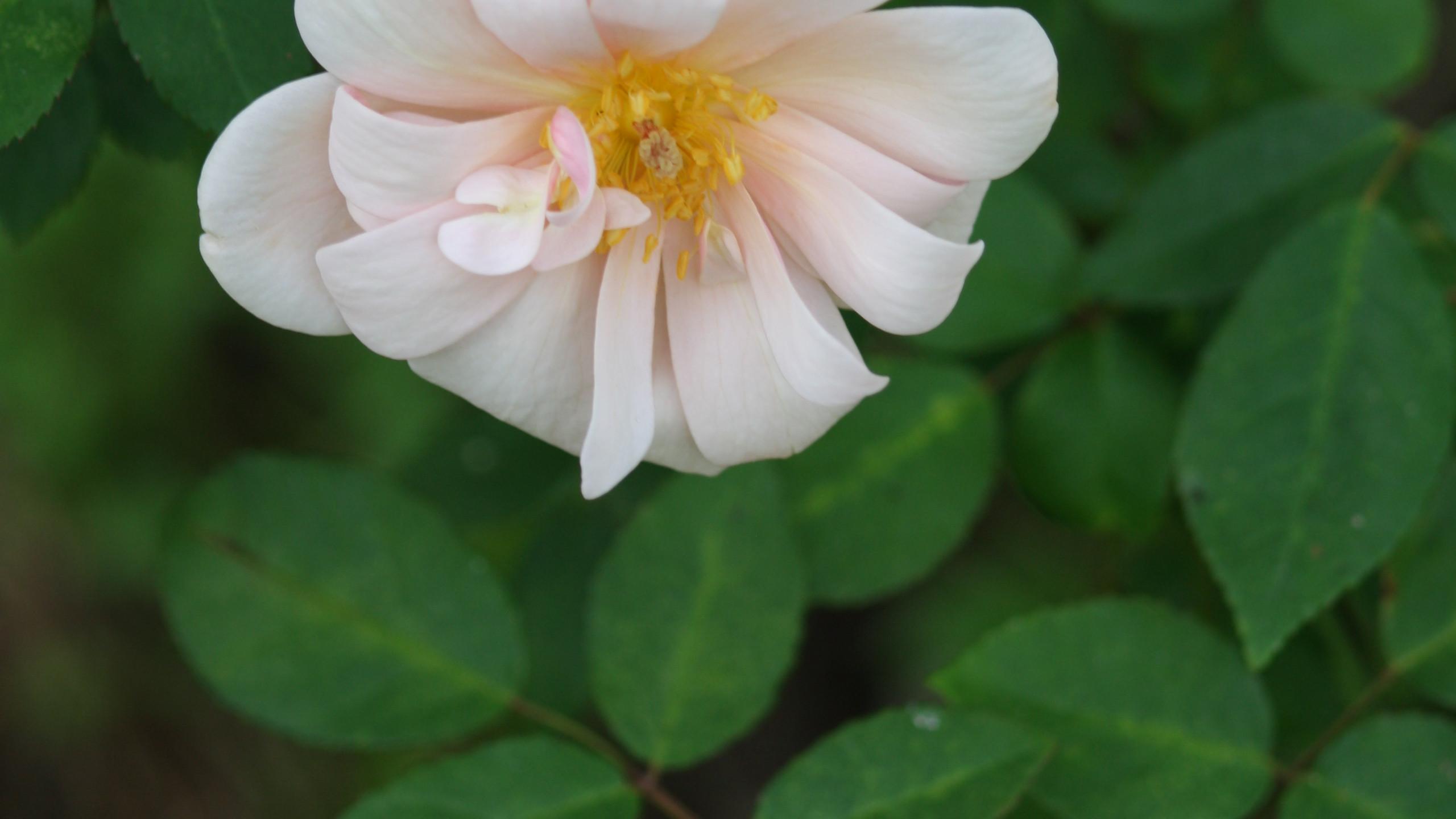 Rose - 'Old Blush'