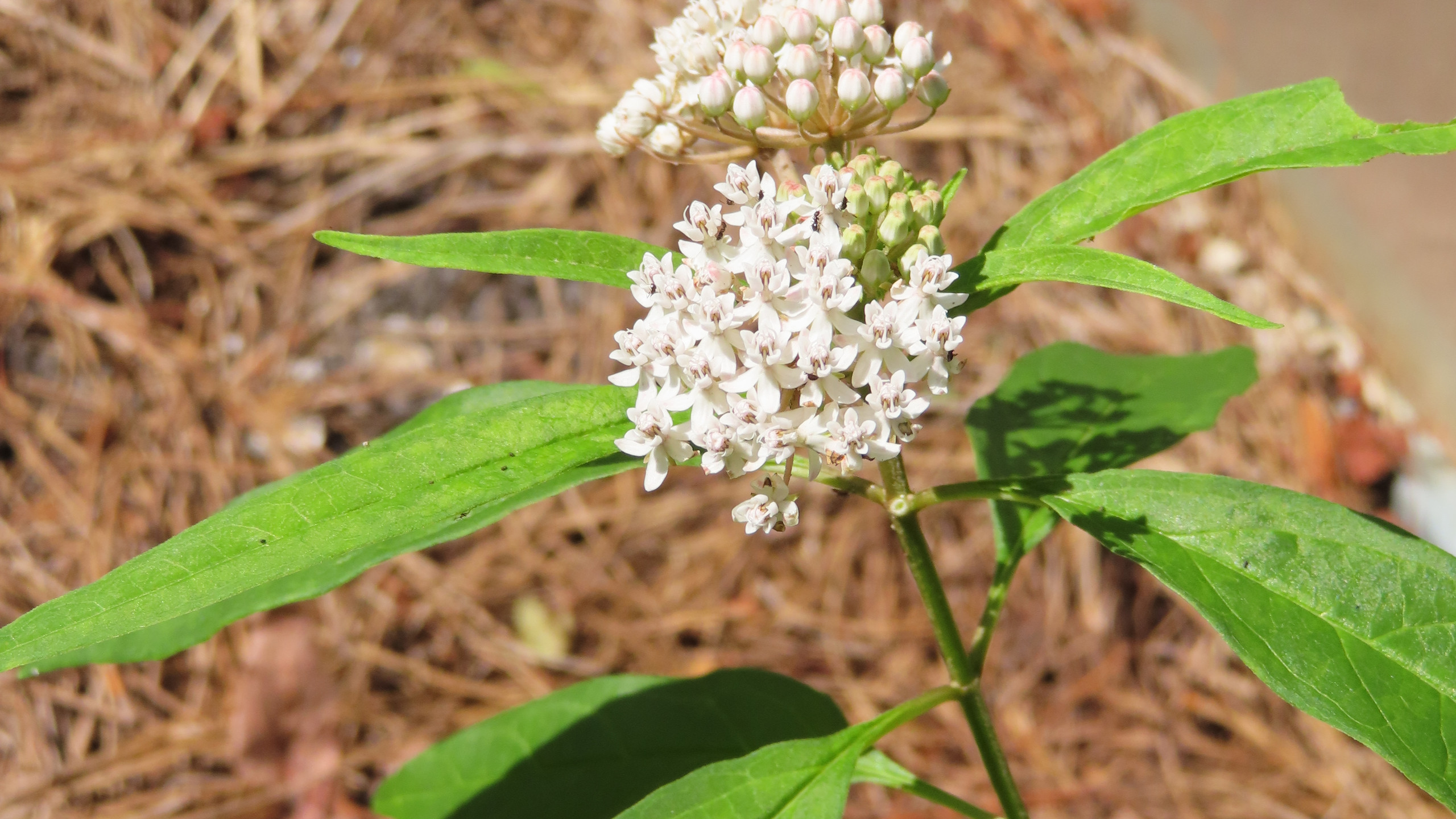 Aquatic Milkweed
