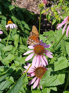Gulf Fritillary Butterfly sipping nectar from a purple coneflower.