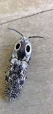 Eastern Eyed Click Beetle 12 Jun 2020.jp