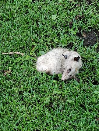 Opossum.jpeg