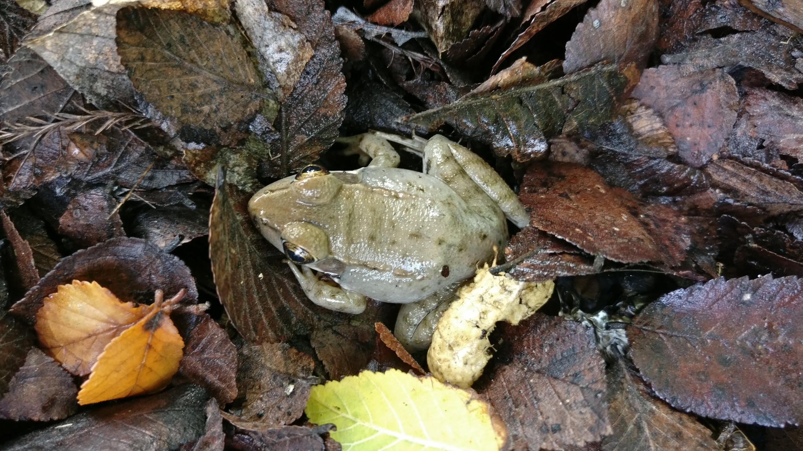 Young Green (Bronze) Frog, Lithobates clamitans 12 June 2018