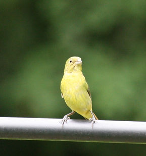 A yellow painted bunting perched on a metal pole.