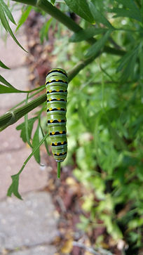 An Eastern Black Swallowtail Caterpillar eating a parsley stem.