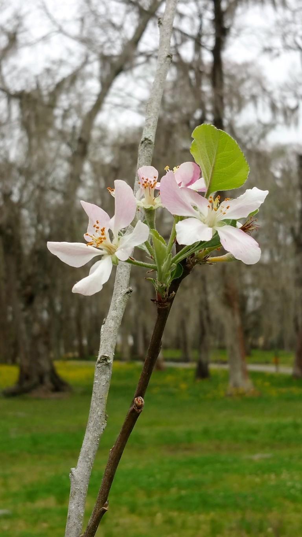 'Anna' Apple Blossom