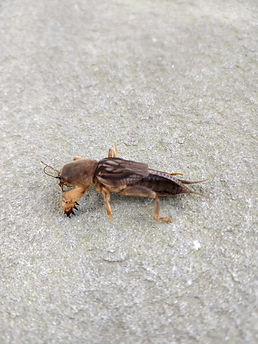 A northern mole cricket on concrete.