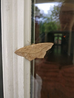 A large maple spanworm moth perched on a window.