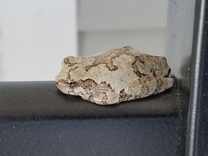 Copes Gray Tree Frog 15 Sept 2017.jpg