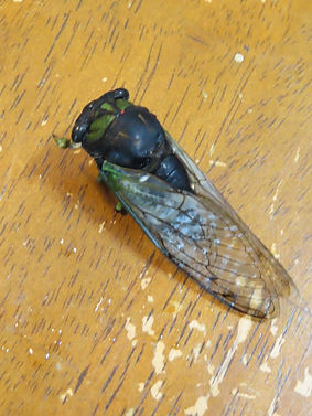 A swamp cicada on a piece of wood.