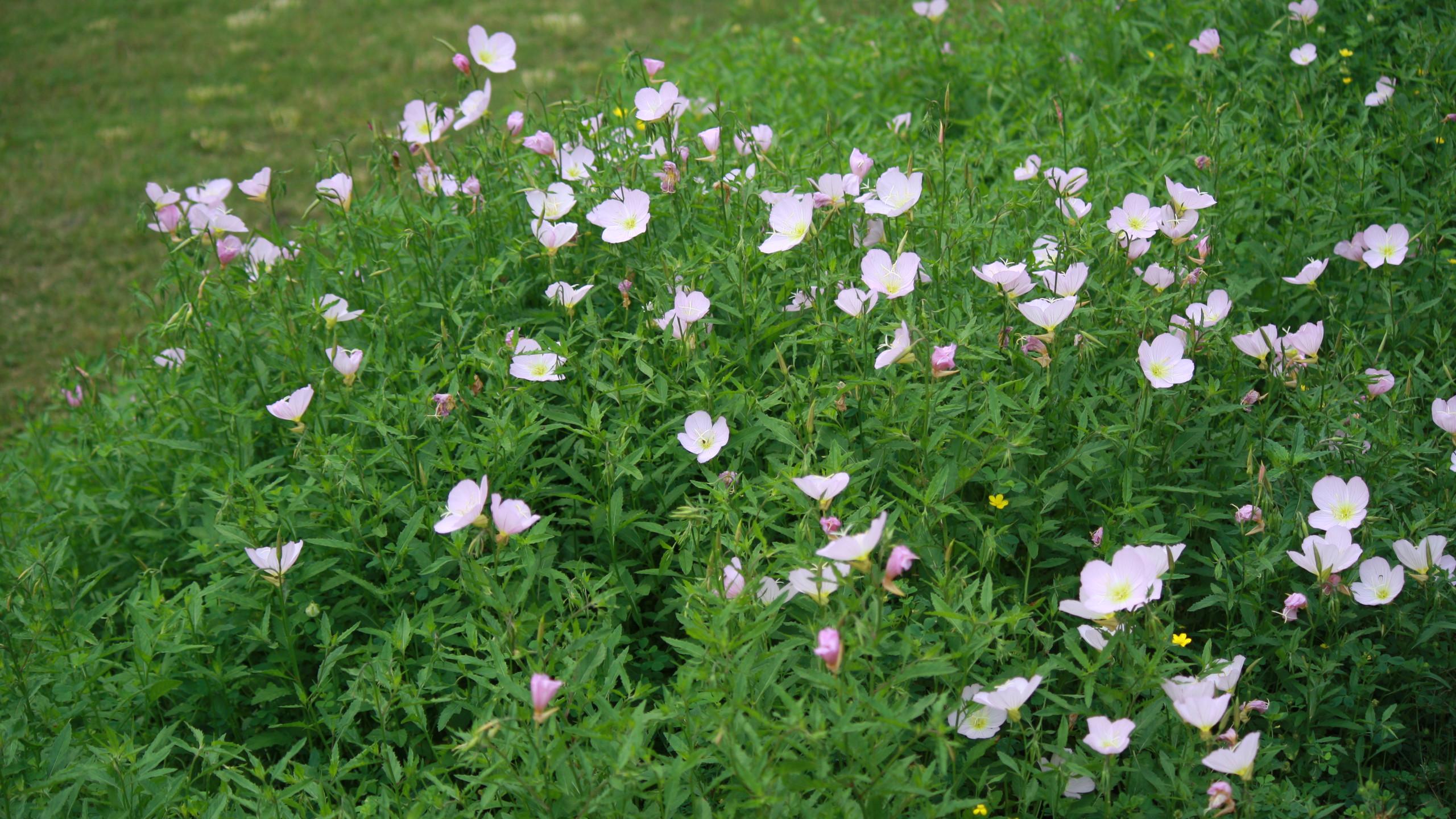Evening Primroses (native)