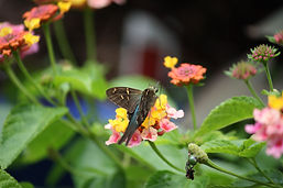 A long-tailed skipper butterfly sipping nectar from a ham and eggs lantana flower.