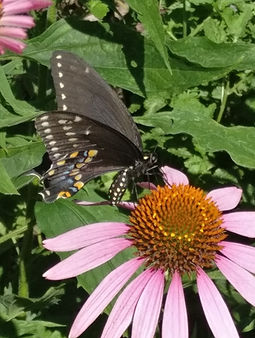 A spicebush swallowtail butterfly sipping nectar from a purple coneflower.