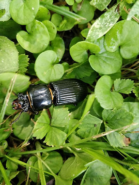 A horned passalas beetle crawling through dollar weed and grass.