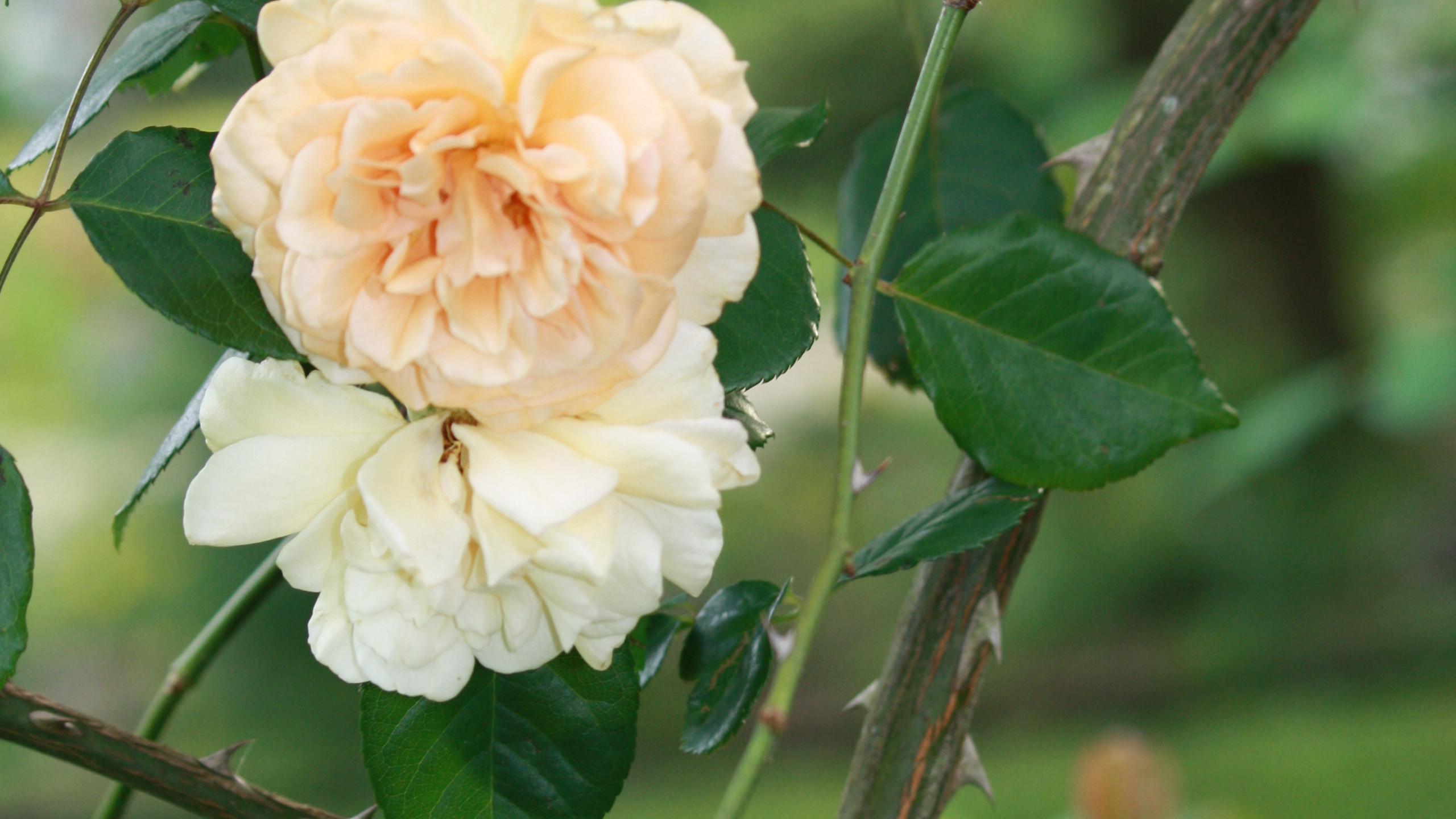 Rose - 'Buff Beauty'