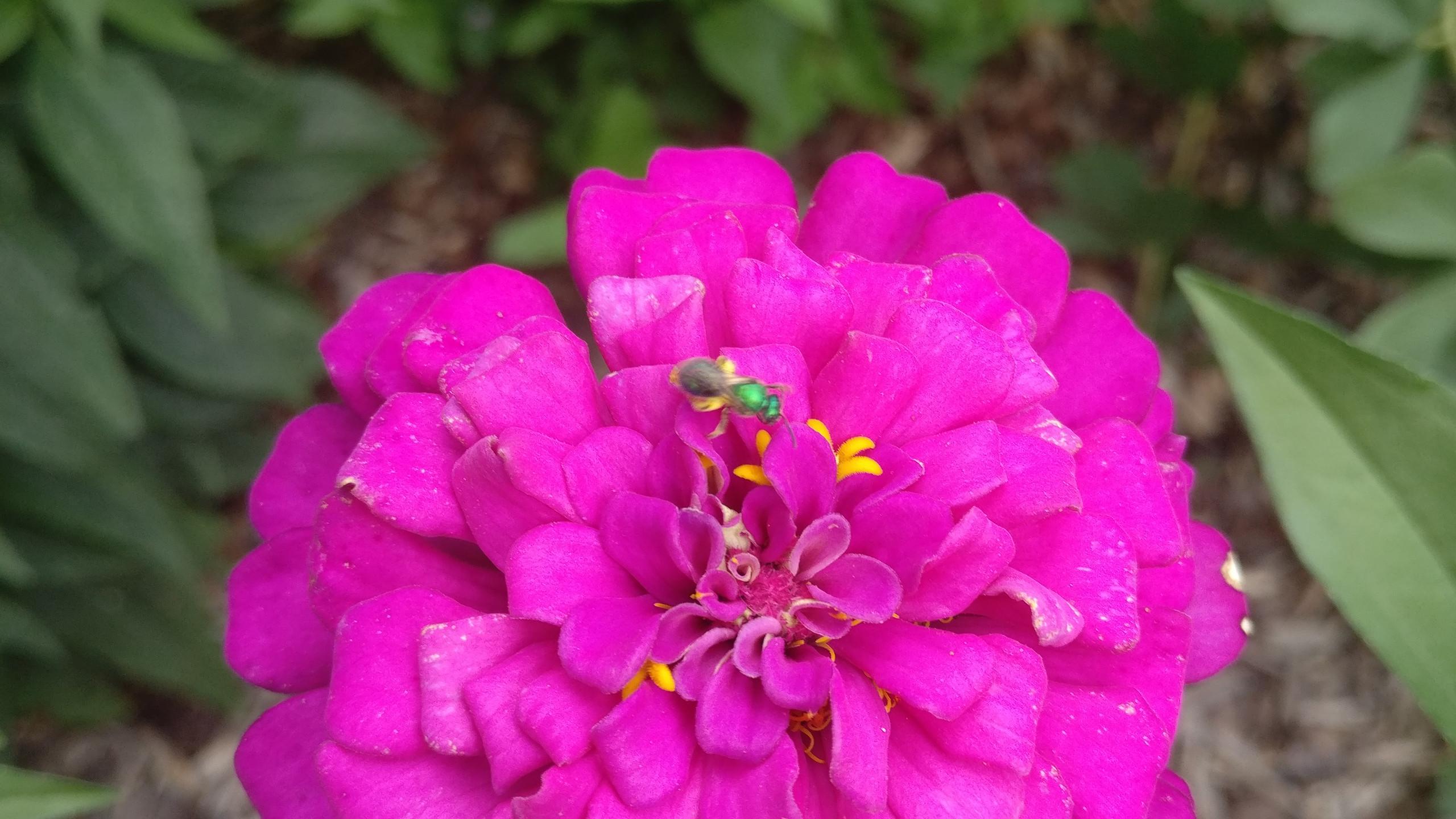 Zinnia Striped Sweat Bee 23 June 2018