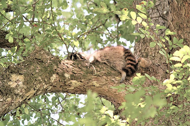 A racoon napping on a tree limb.