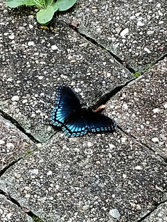 Red-spotted admiral butterfly with its wings open sitting on some paving stones.