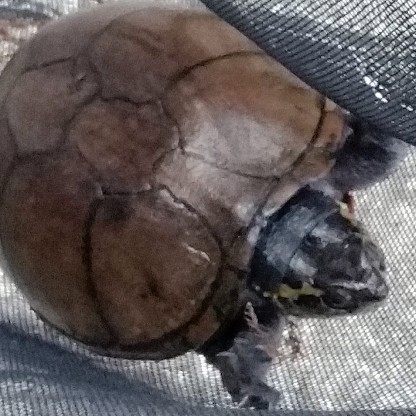 Eastern Mud Turtle 19 July 2016