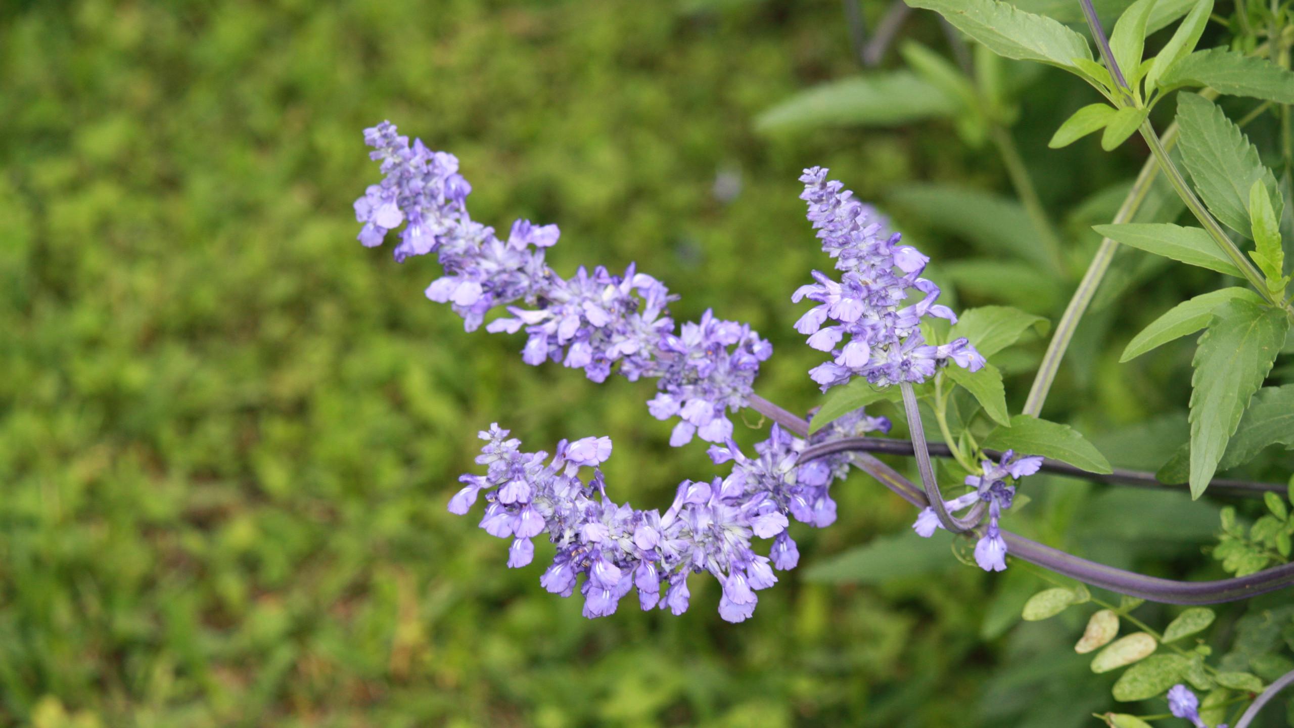 Salvia - 'Victoria Blue'