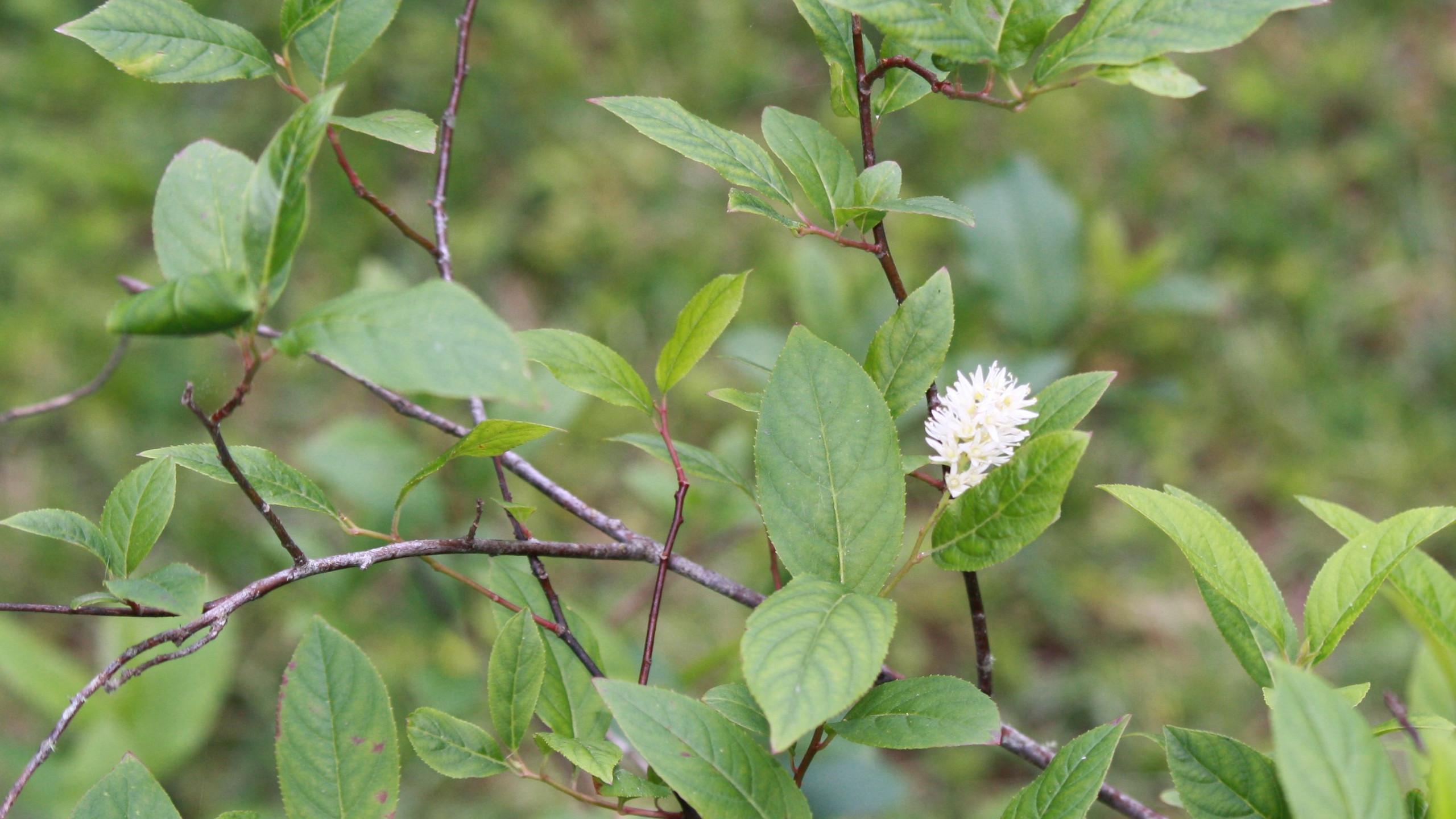 Virginia Sweetspire (native)