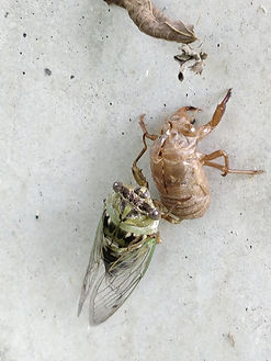 A resh cicada with its exuviae on concrete.