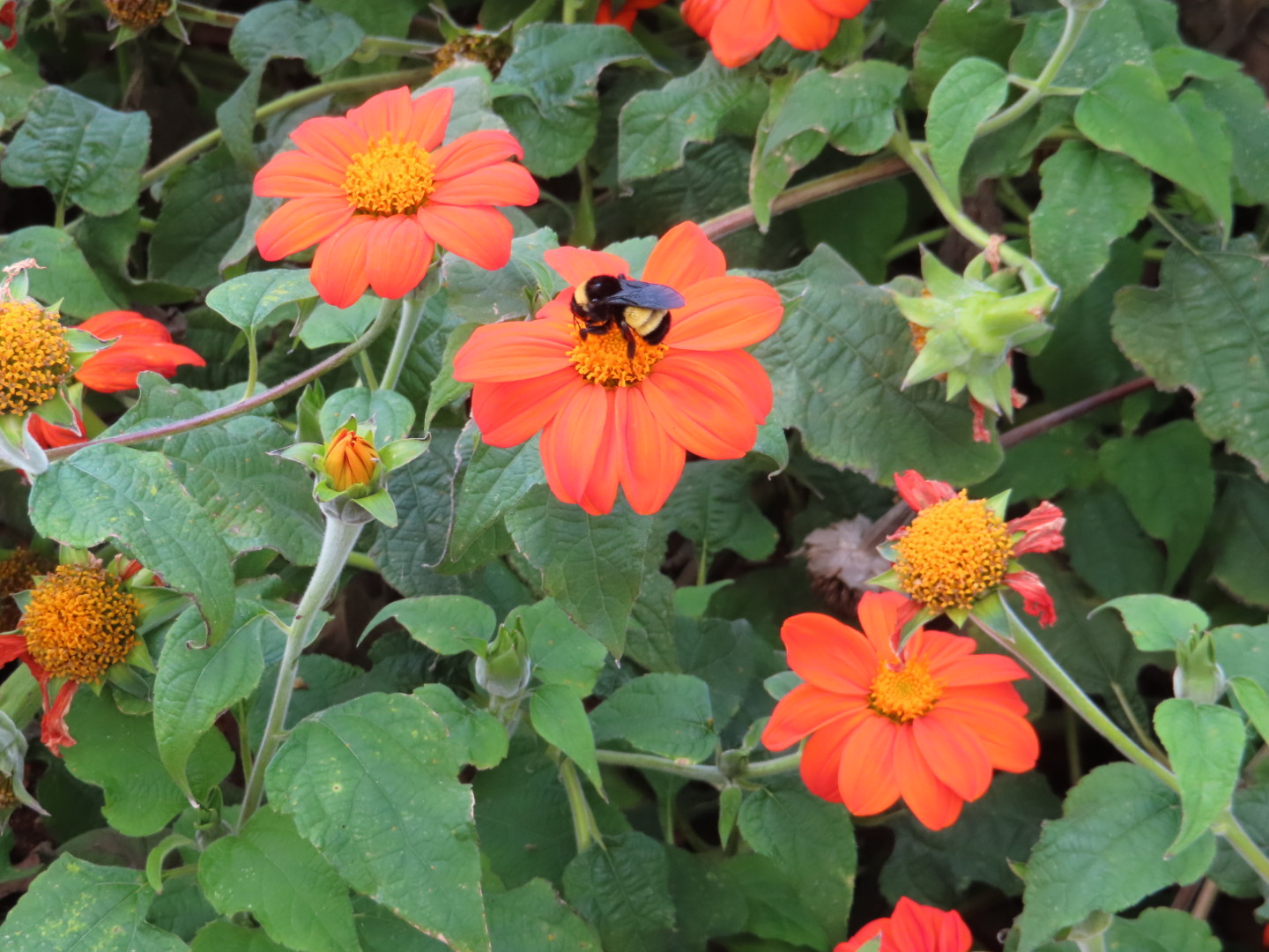 Mexican Sunflower Nov 19