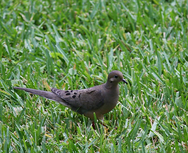 A mourning dove standing in the grass.