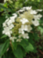 Oak Leaf Hydrangea 13 May 2020.jpg