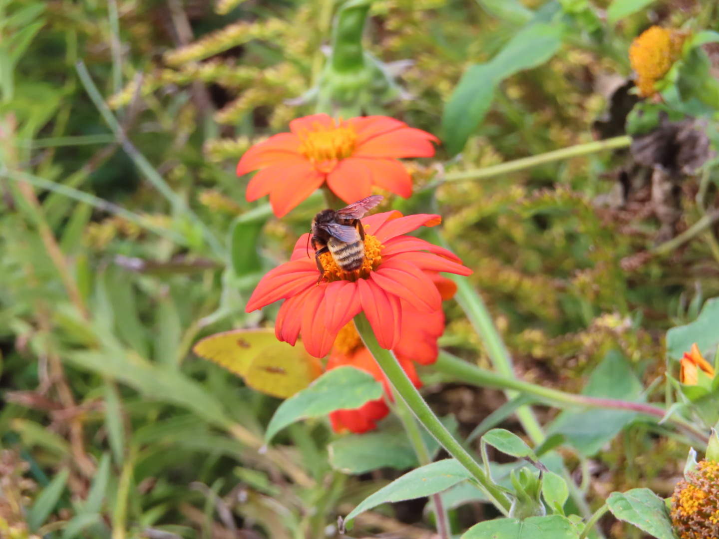 Mexican Sunflower4 Nov 19
