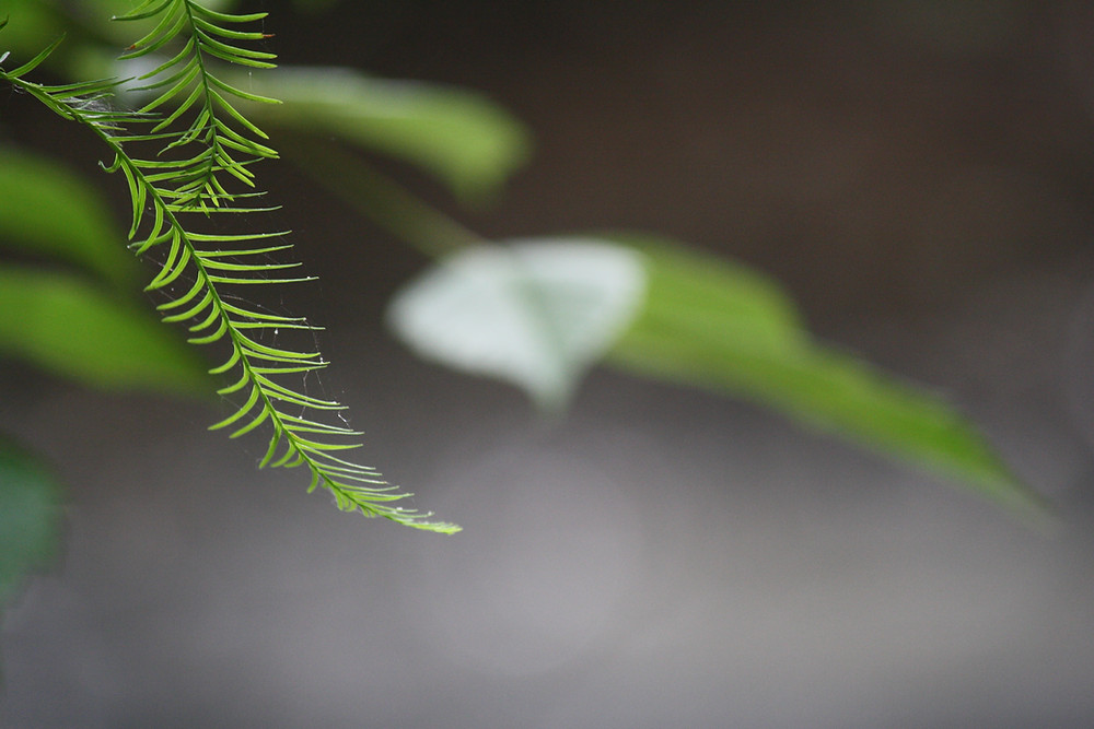 An image of a bald cypress leaf in the foreground.