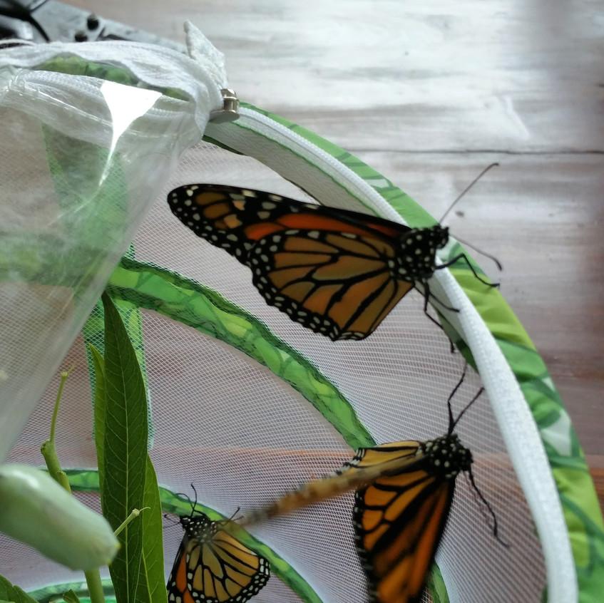 Monarch Babies June 2016